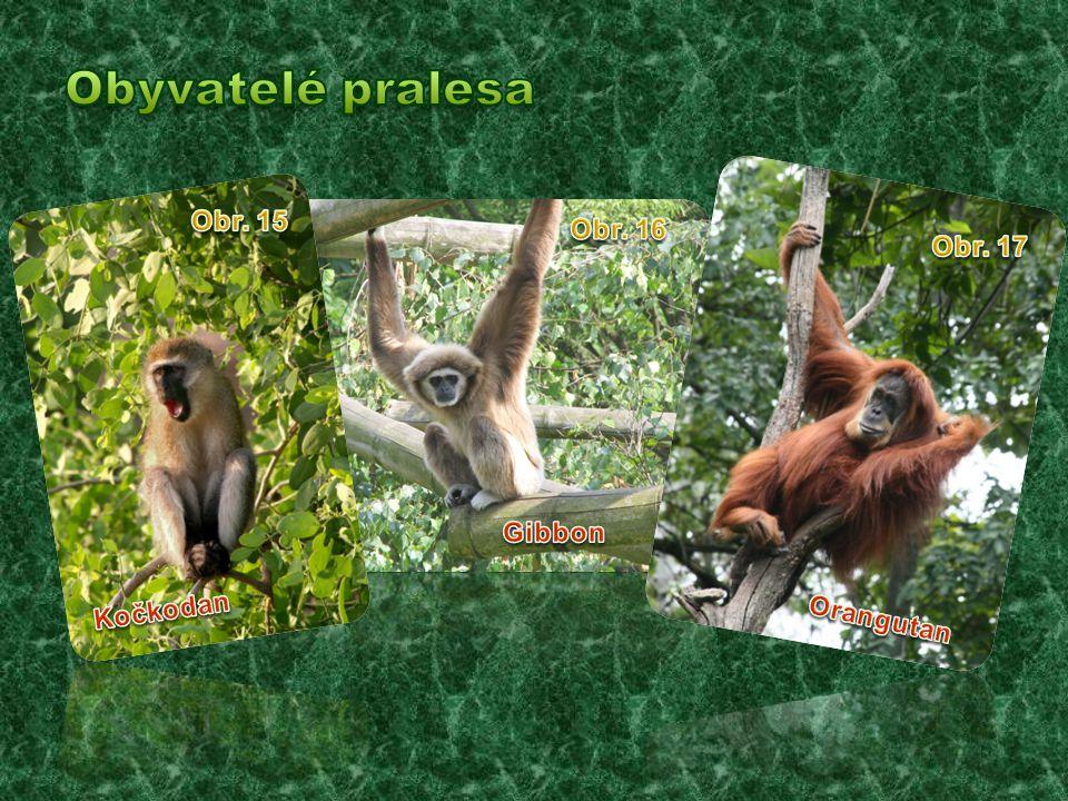 Obyvatelé pralesa Obr. 15 Obr. 16 Obr. 17 Gibbon Kočkodan Orangutan