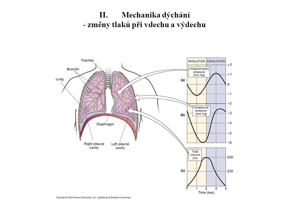 II. Mechanika dýchání - změny tlaků při vdechu a výdechu