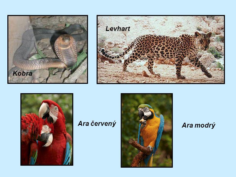 Levhart Kobra Ara červený Ara modrý