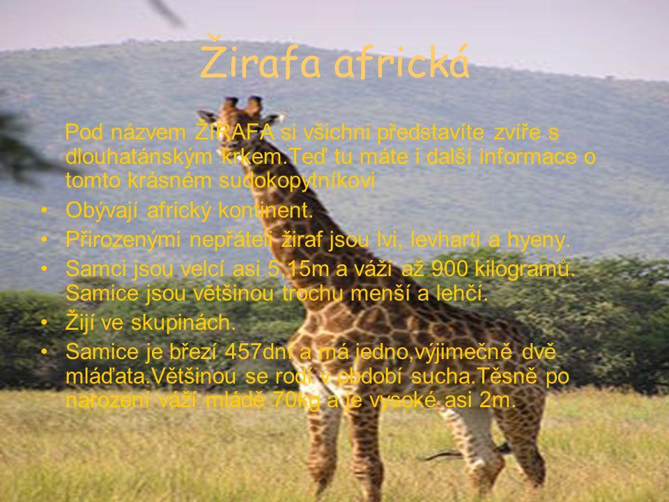 Žirafa africká Pod názvem ŽIRAFA si všichni představíte zvíře s dlouhatánským krkem.Teď tu máte i další informace o tomto krásném sudokopytníkovi.