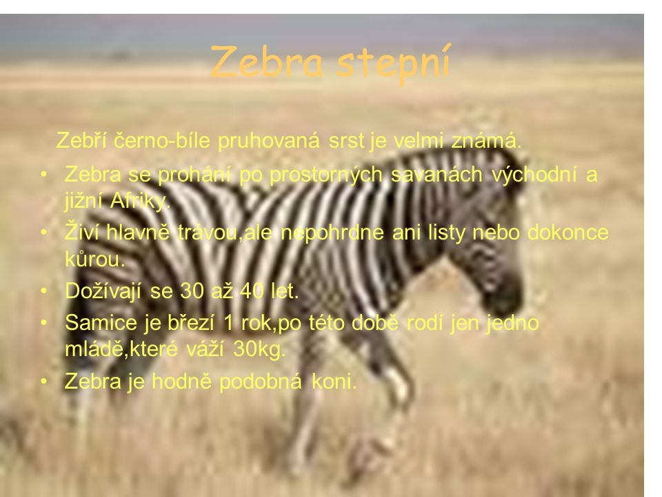 Zebra stepní Zebří černo-bíle pruhovaná srst je velmi známá.