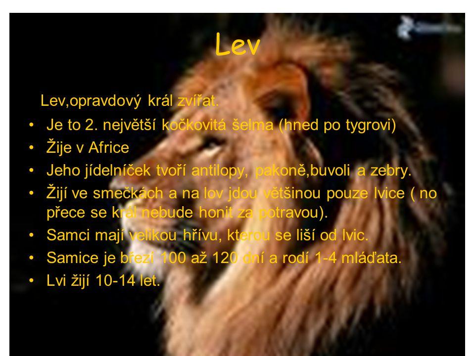 Lev Lev,opravdový král zvířat.