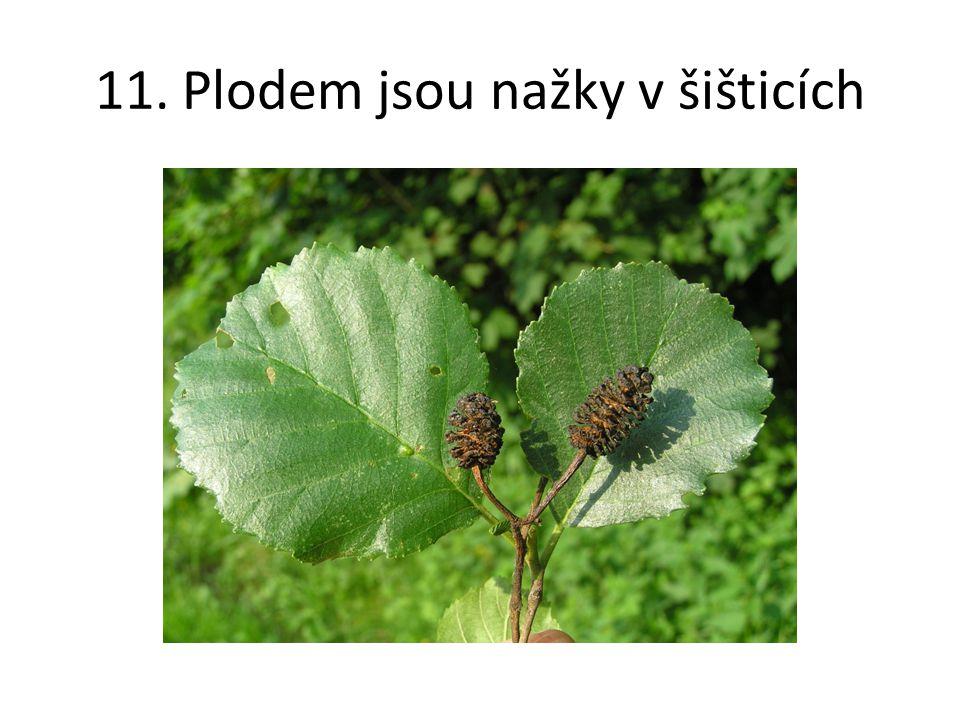 11. Plodem jsou nažky v šišticích