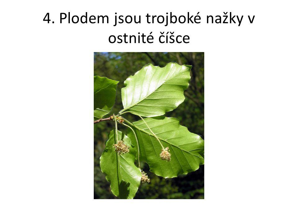 4. Plodem jsou trojboké nažky v ostnité číšce