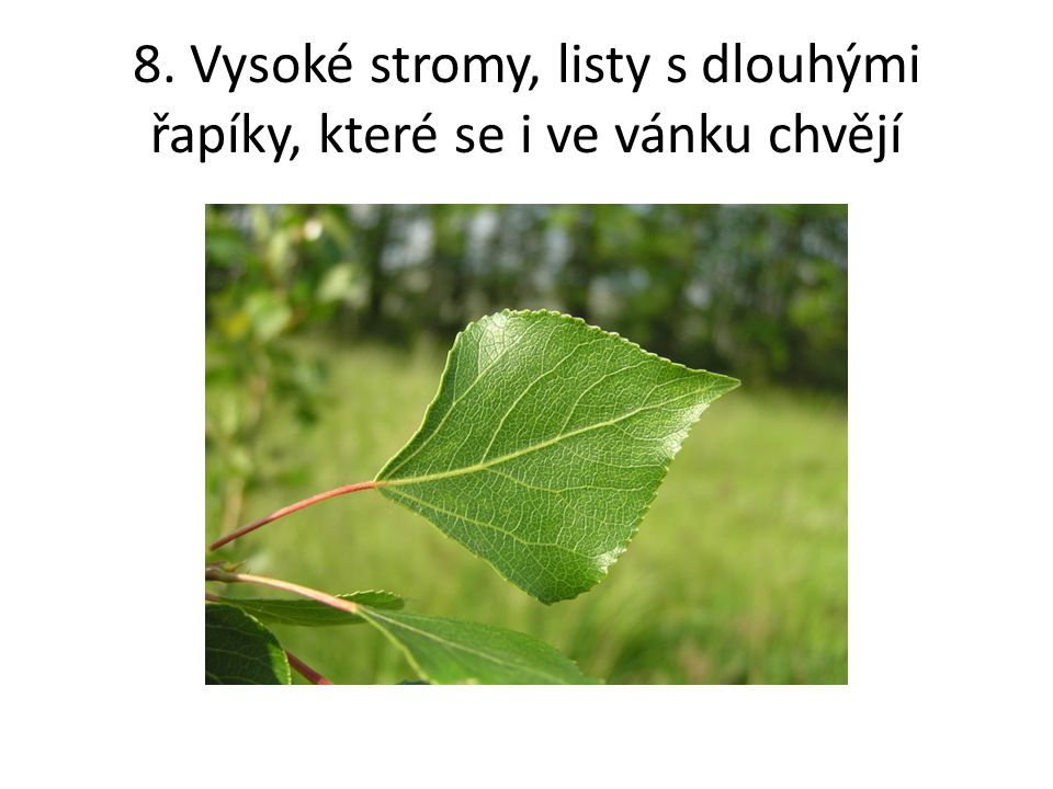 8. Vysoké stromy, listy s dlouhými řapíky, které se i ve vánku chvějí