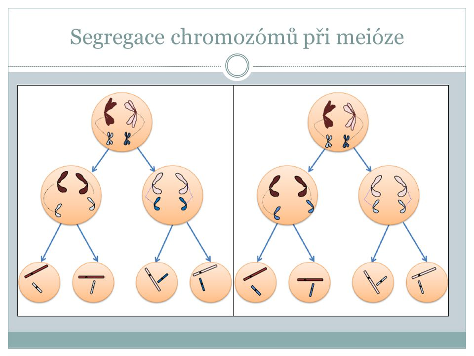 Segregace chromozómů při meióze