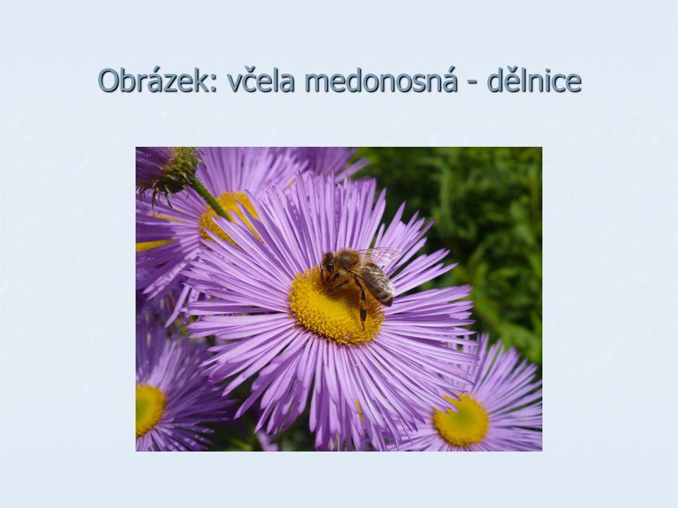 Obrázek: včela medonosná - dělnice