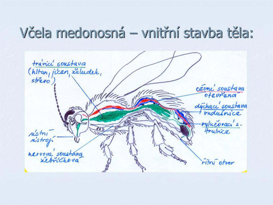 Včela medonosná – vnitřní stavba těla: