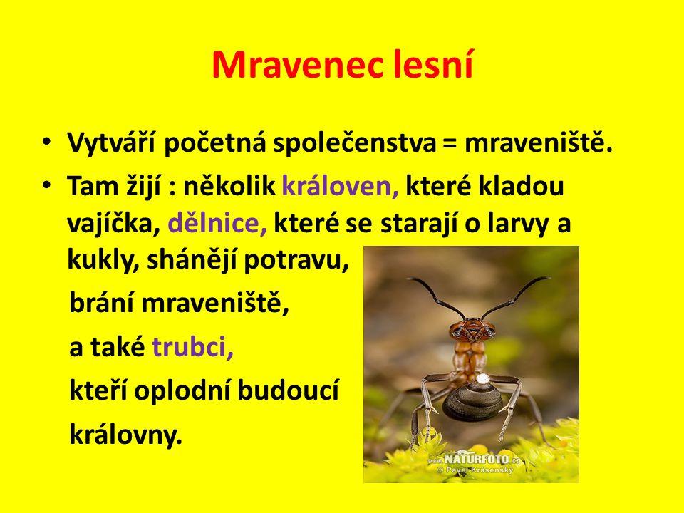 Mravenec lesní Vytváří početná společenstva = mraveniště.