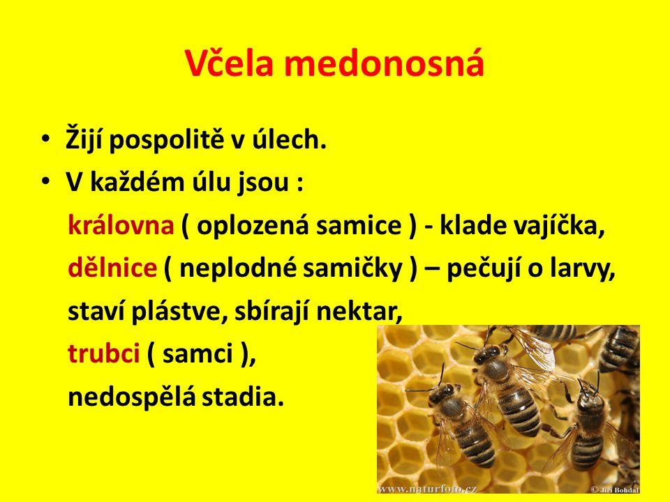 Včela medonosná Žijí pospolitě v úlech. V každém úlu jsou :