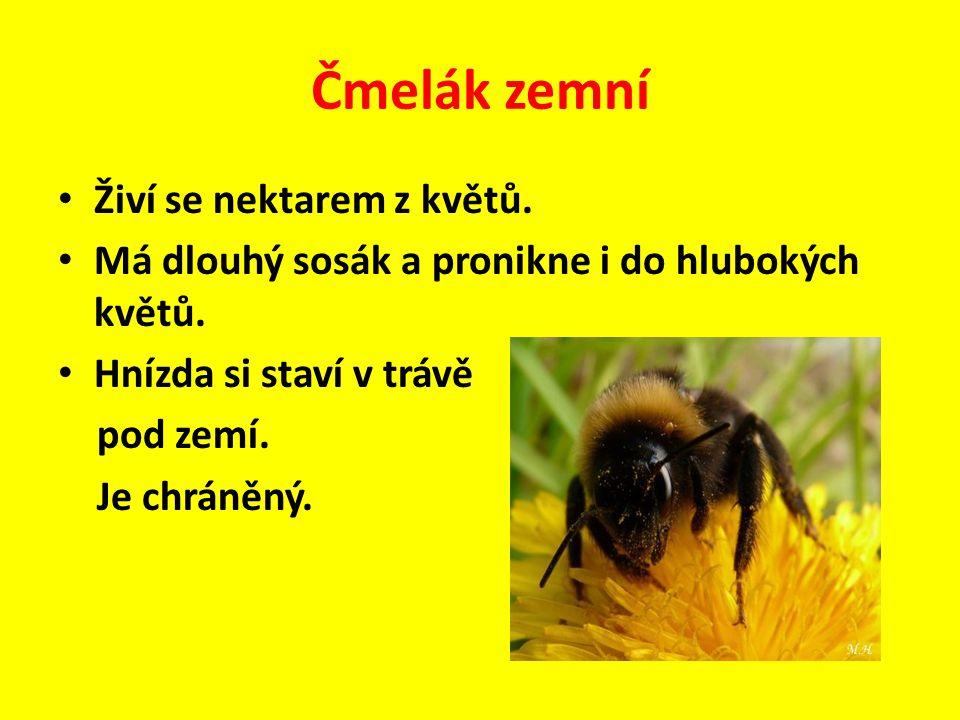 Čmelák zemní Živí se nektarem z květů.