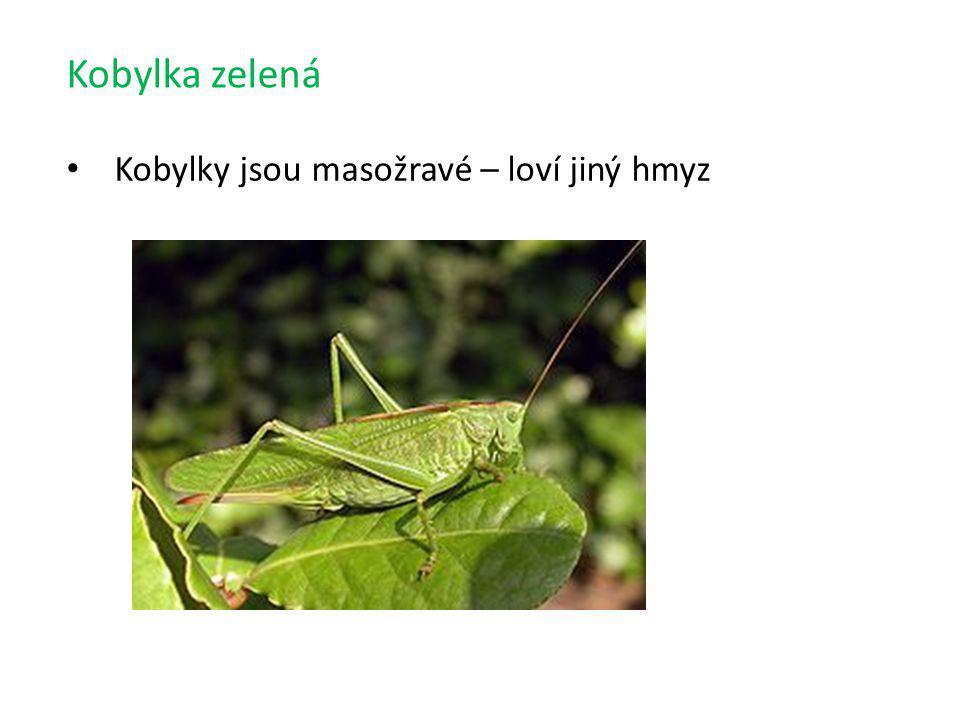 Kobylka zelená Kobylky jsou masožravé – loví jiný hmyz