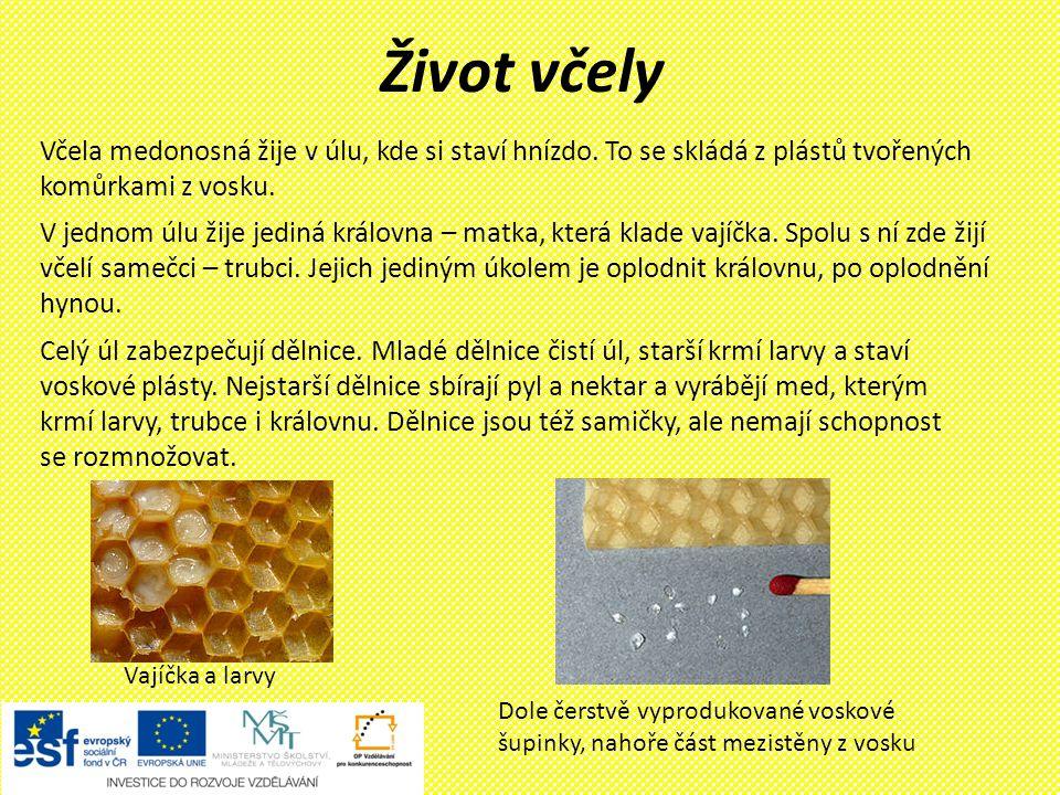 Život včely Včela medonosná žije v úlu, kde si staví hnízdo. To se skládá z plástů tvořených komůrkami z vosku.