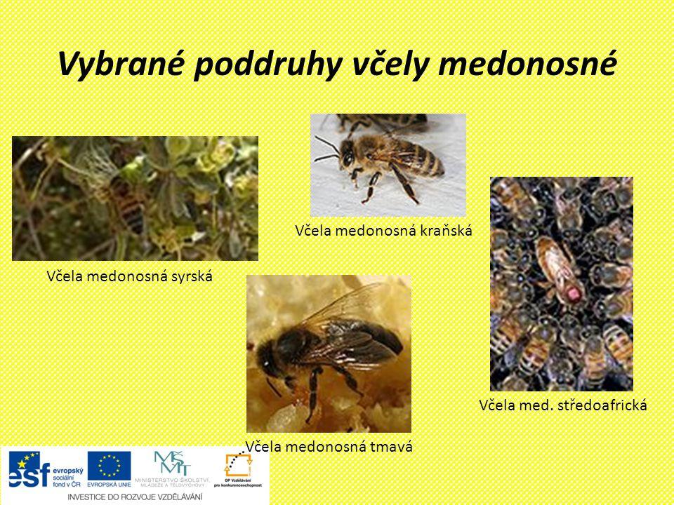 Vybrané poddruhy včely medonosné