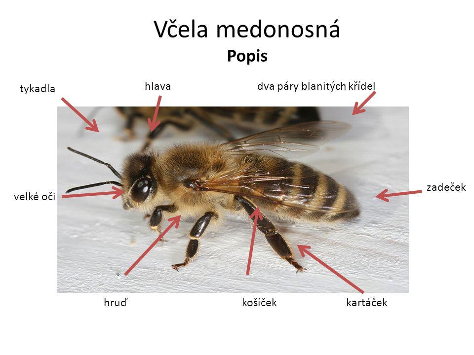 Včela medonosná Popis tykadla hlava dva páry blanitých křídel zadeček