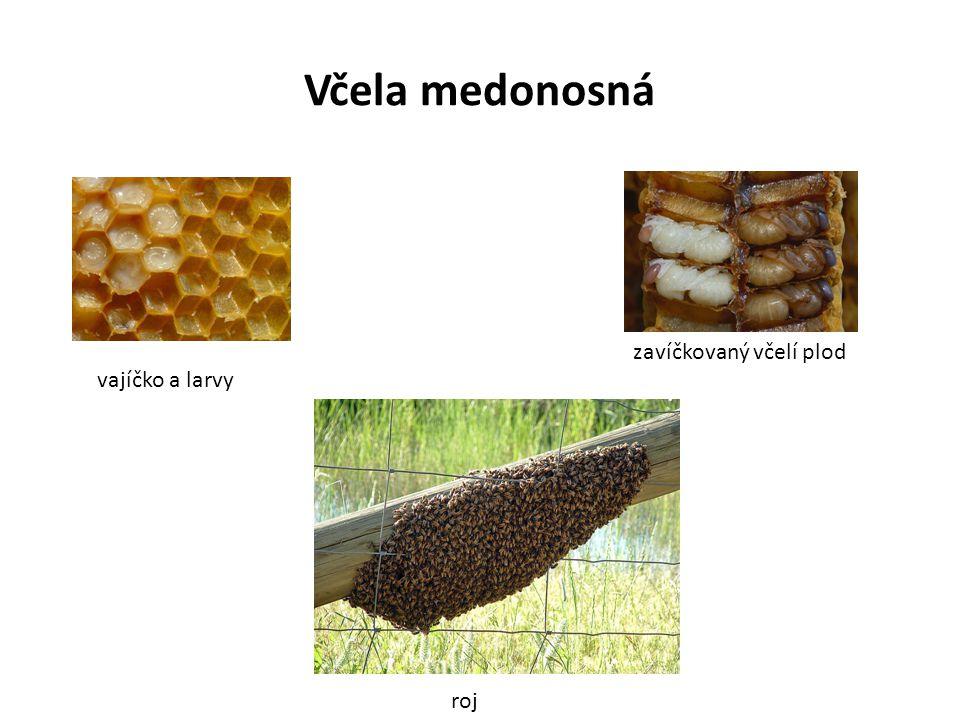 Včela medonosná zavíčkovaný včelí plod vajíčko a larvy roj