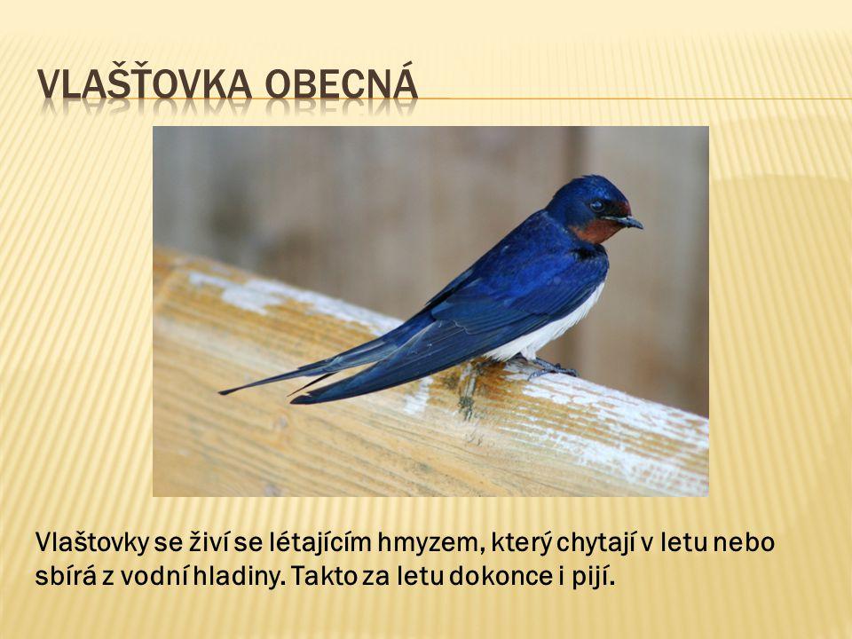 Vlašťovka Obecná Vlaštovky se živí se létajícím hmyzem, který chytají v letu nebo sbírá z vodní hladiny.