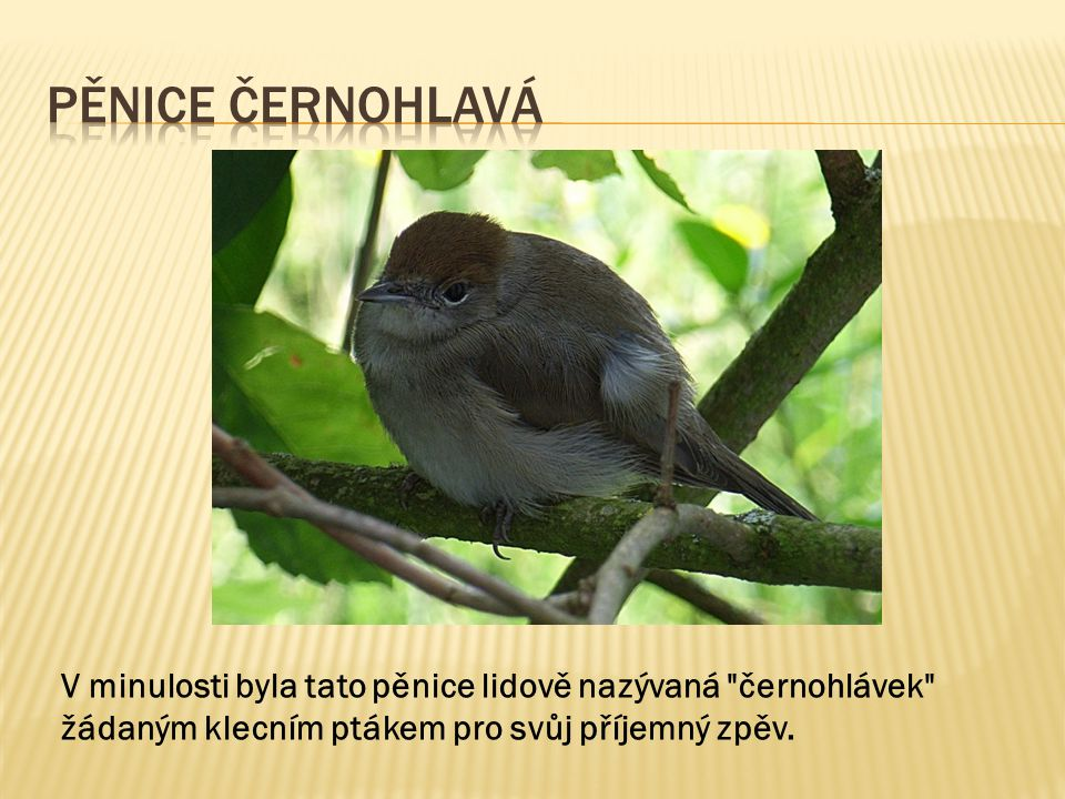 Pěnice Černohlavá V minulosti byla tato pěnice lidově nazývaná černohlávek žádaným klecním ptákem pro svůj příjemný zpěv.