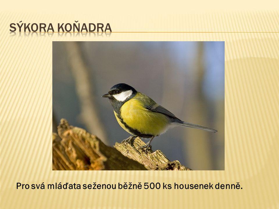 Sýkora Koňadra Pro svá mláďata seženou běžně 500 ks housenek denně.