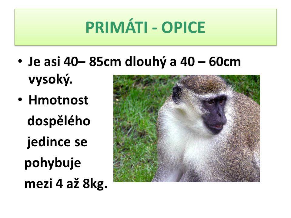 PRIMÁTI - OPICE Je asi 40– 85cm dlouhý a 40 – 60cm vysoký. Hmotnost