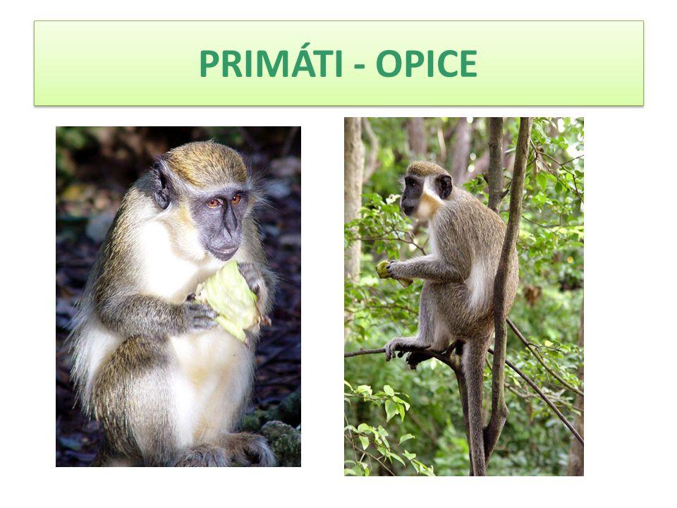 PRIMÁTI - OPICE