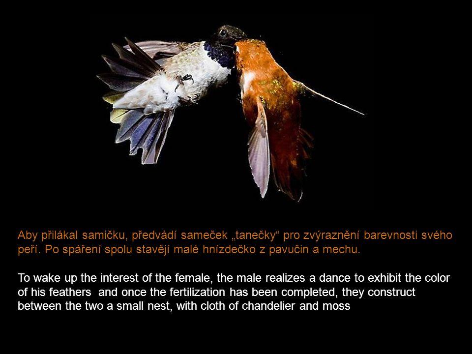 """Aby přilákal samičku, předvádí sameček """"tanečky pro zvýraznění barevnosti svého peří. Po spáření spolu stavějí malé hnízdečko z pavučin a mechu."""