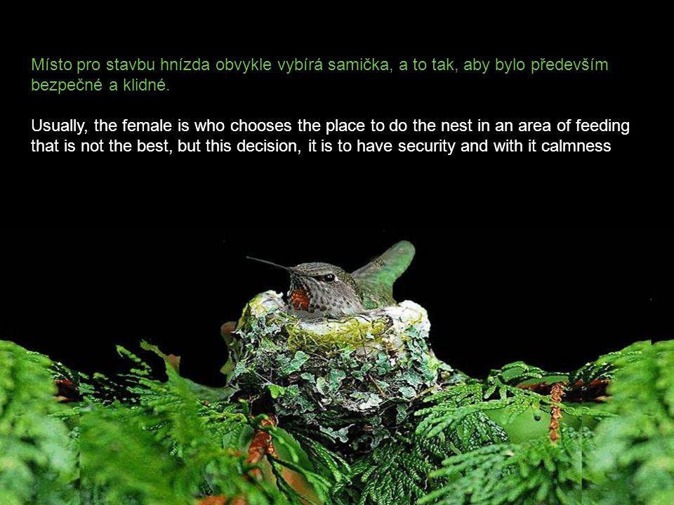 Místo pro stavbu hnízda obvykle vybírá samička, a to tak, aby bylo především bezpečné a klidné.