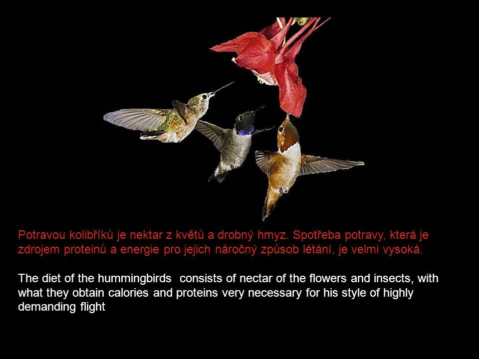 Potravou kolibříků je nektar z květů a drobný hmyz