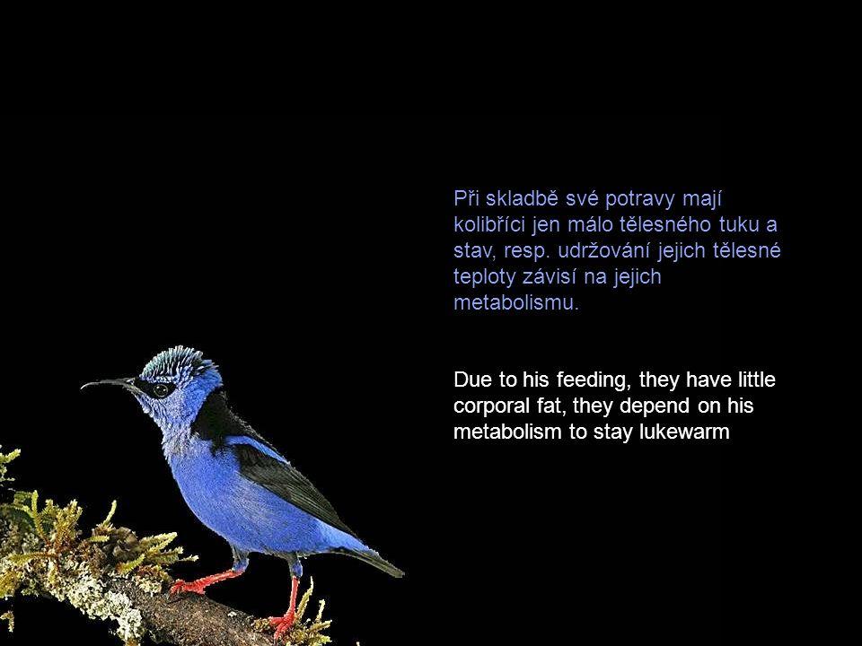 Při skladbě své potravy mají kolibříci jen málo tělesného tuku a stav, resp. udržování jejich tělesné teploty závisí na jejich metabolismu.