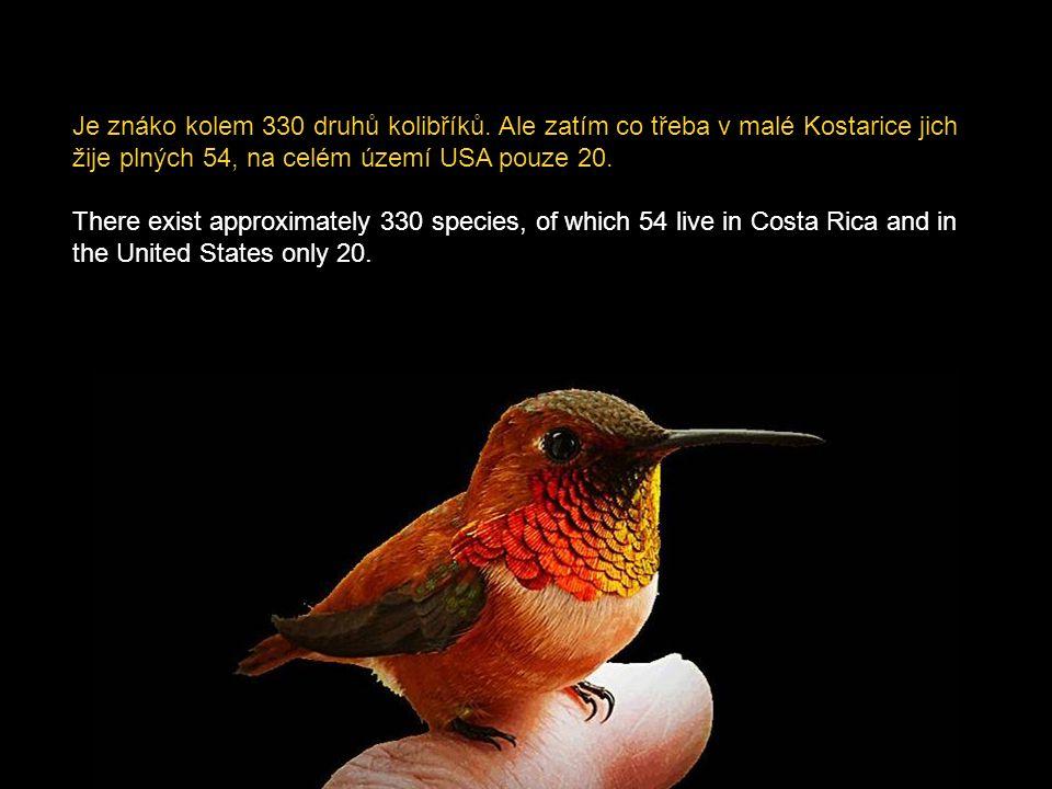 Je znáko kolem 330 druhů kolibříků