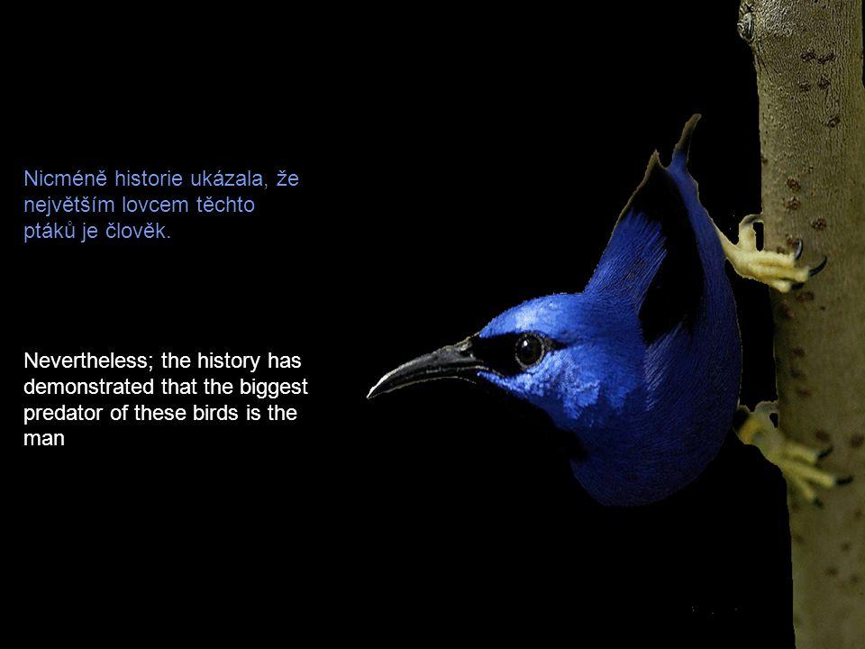 Nicméně historie ukázala, že největším lovcem těchto ptáků je člověk.