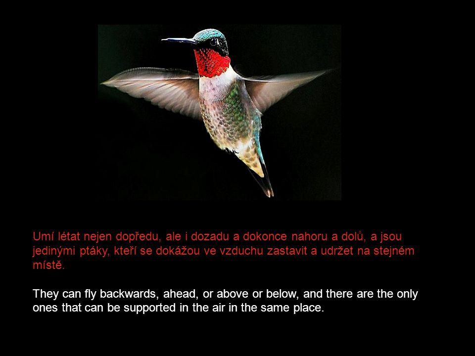 Umí létat nejen dopředu, ale i dozadu a dokonce nahoru a dolů, a jsou jedinými ptáky, kteří se dokážou ve vzduchu zastavit a udržet na stejném místě.