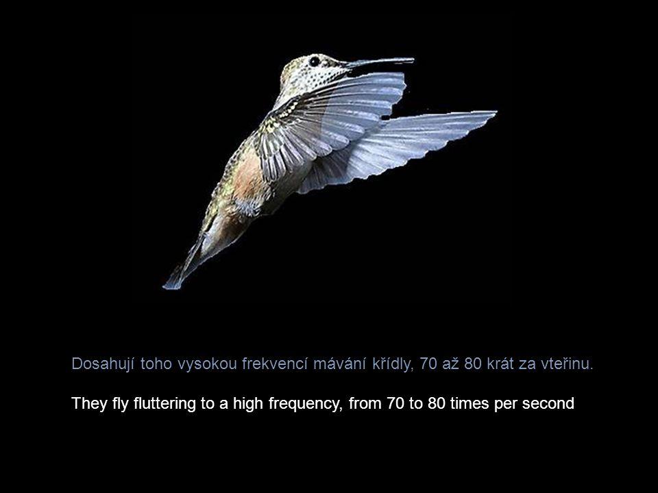 Dosahují toho vysokou frekvencí mávání křídly, 70 až 80 krát za vteřinu.