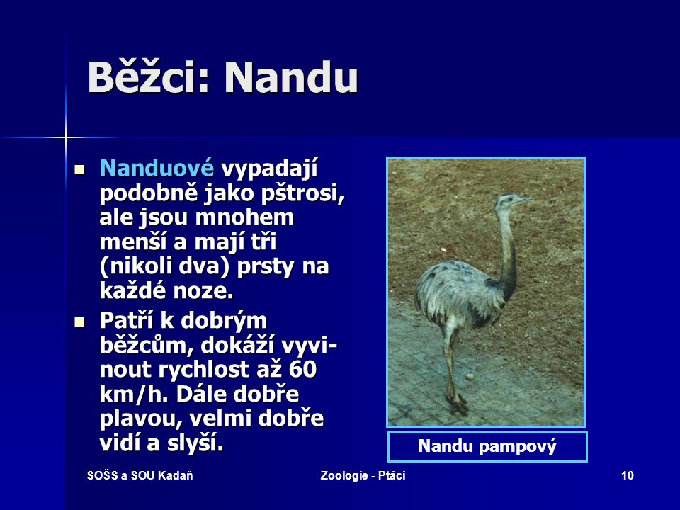 Běžci: Nandu Nanduové vypadají podobně jako pštrosi, ale jsou mnohem menší a mají tři (nikoli dva) prsty na každé noze.