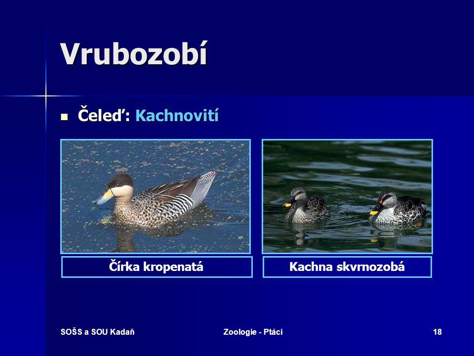 Vrubozobí Čeleď: Kachnovití Čírka kropenatá Kachna skvrnozobá