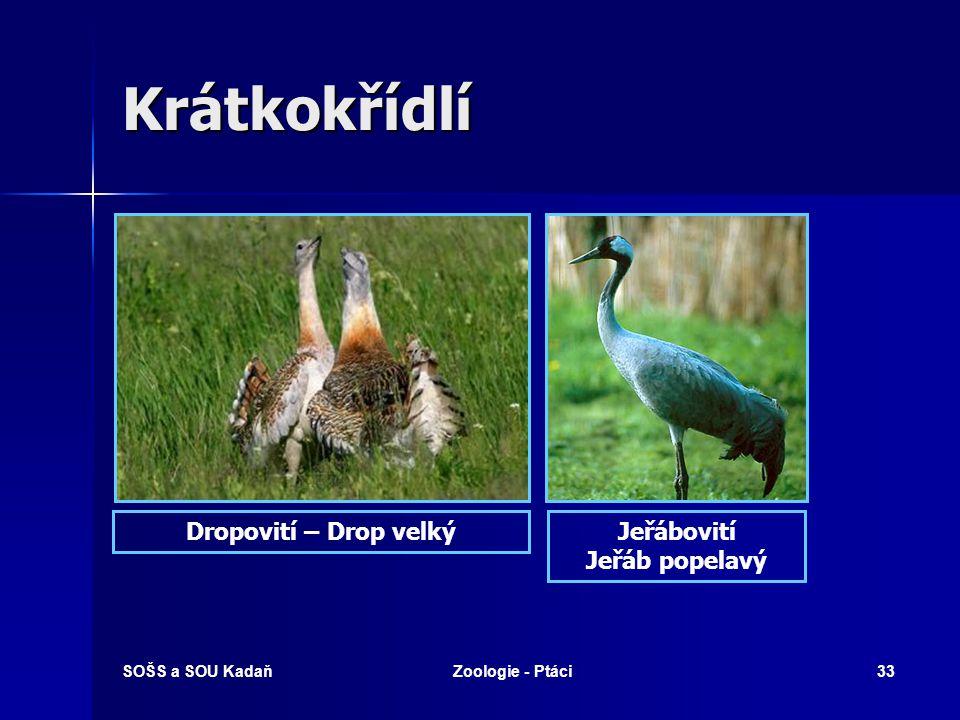 Krátkokřídlí Dropovití – Drop velký Jeřábovití Jeřáb popelavý