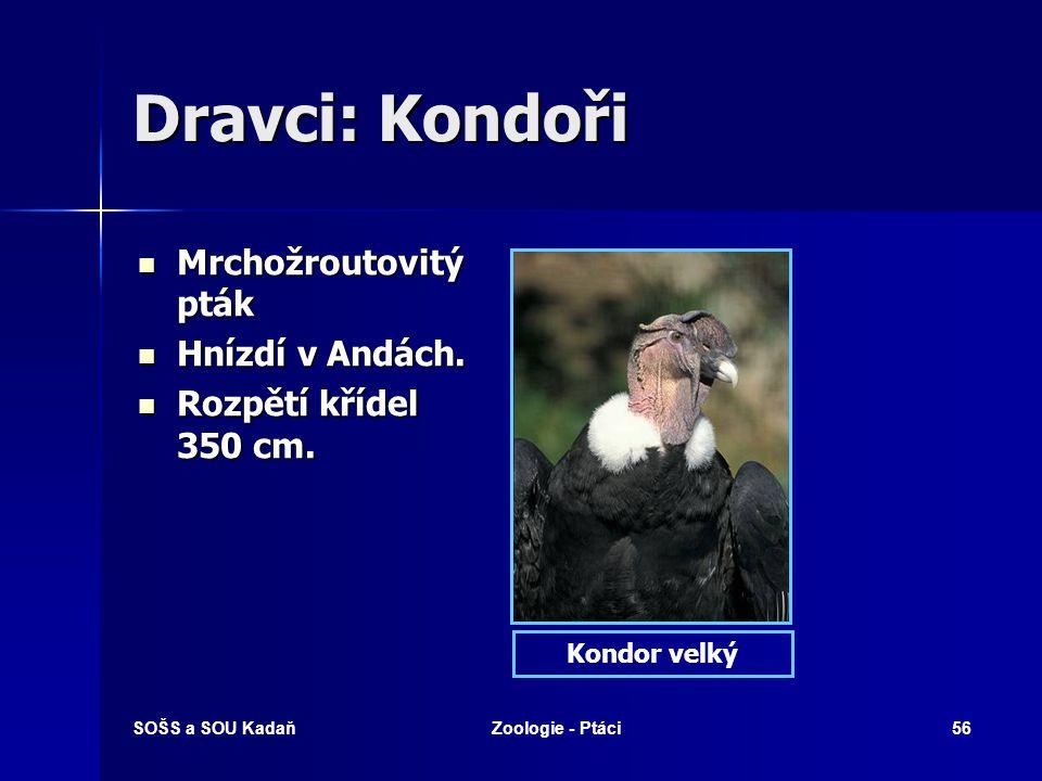 Dravci: Kondoři Mrchožroutovitý pták Hnízdí v Andách.