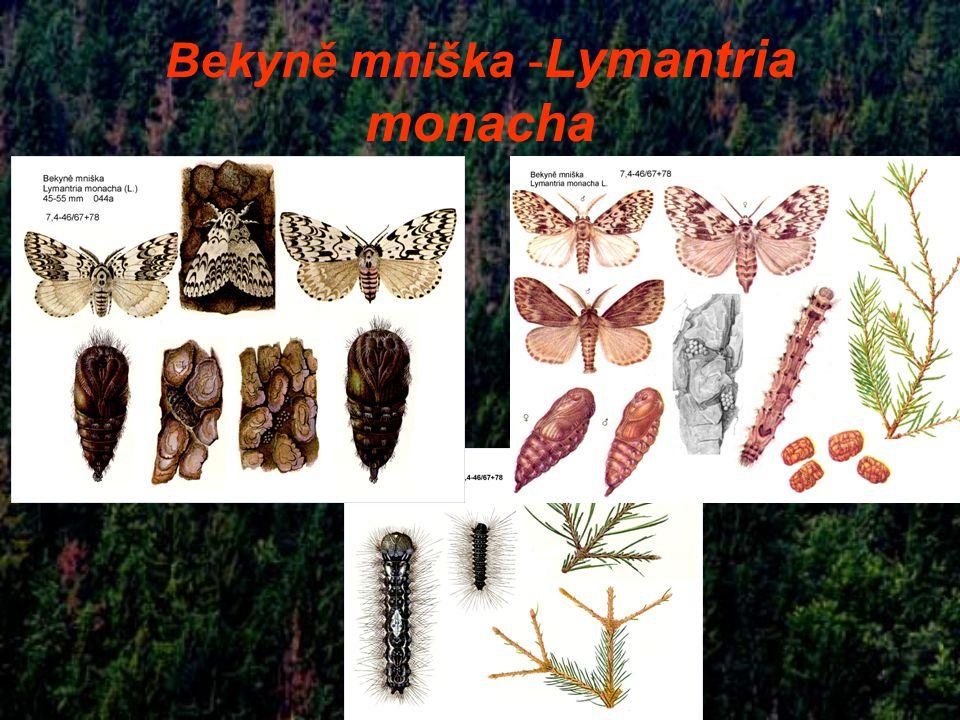 Bekyně mniška -Lymantria monacha