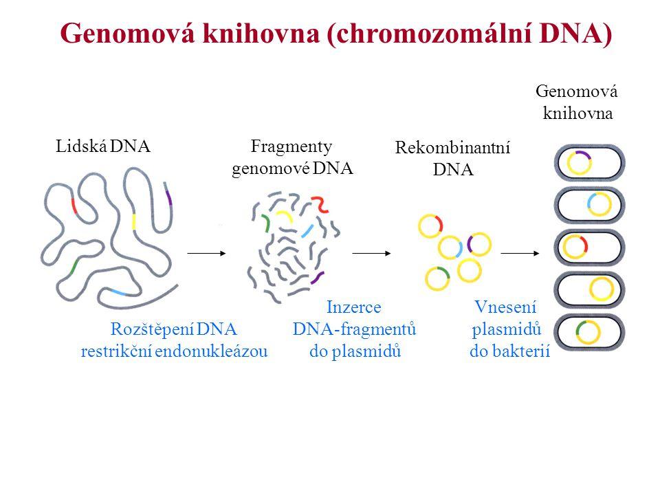 Genomová knihovna (chromozomální DNA)