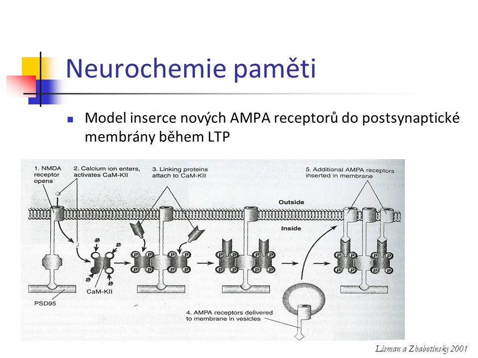 Neurochemie paměti Model inserce nových AMPA receptorů do postsynaptické membrány během LTP.
