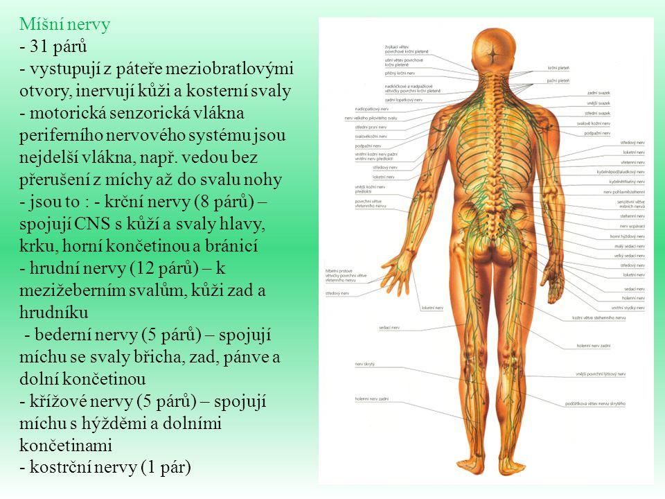 Míšní nervy - 31 párů. - vystupují z páteře meziobratlovými otvory, inervují kůži a kosterní svaly.