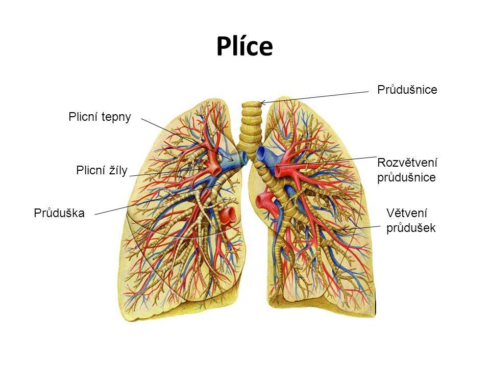 Plíce Průdušnice Plicní tepny Rozvětvení průdušnice Plicní žíly
