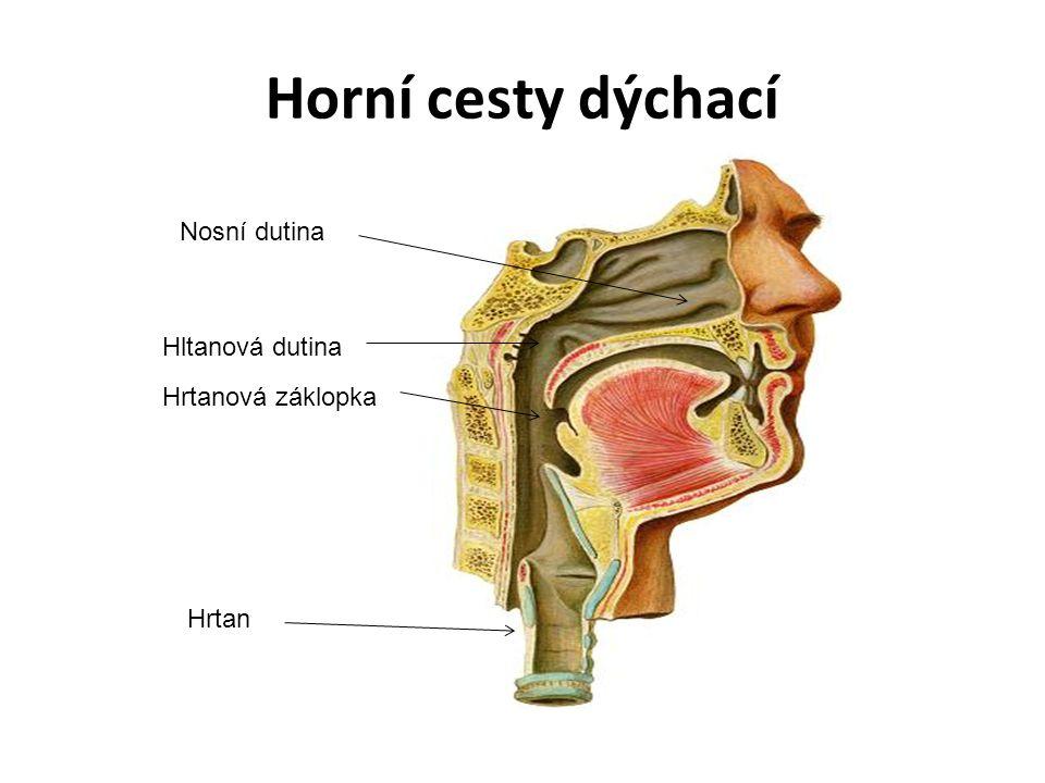 Horní cesty dýchací Nosní dutina Hltanová dutina Hrtanová záklopka