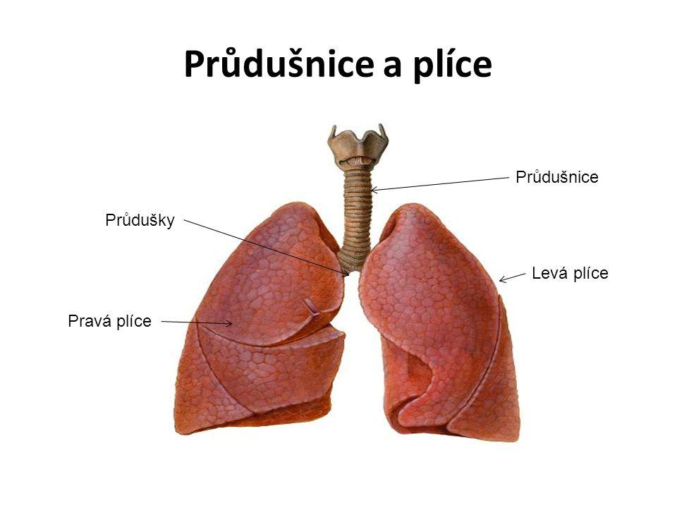 Průdušnice a plíce Průdušnice Průdušky Levá plíce Pravá plíce