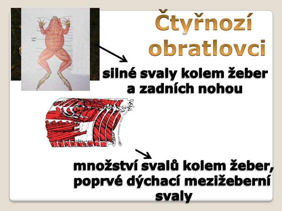 Čtyřnozí obratlovci silné svaly kolem žeber a zadních nohou