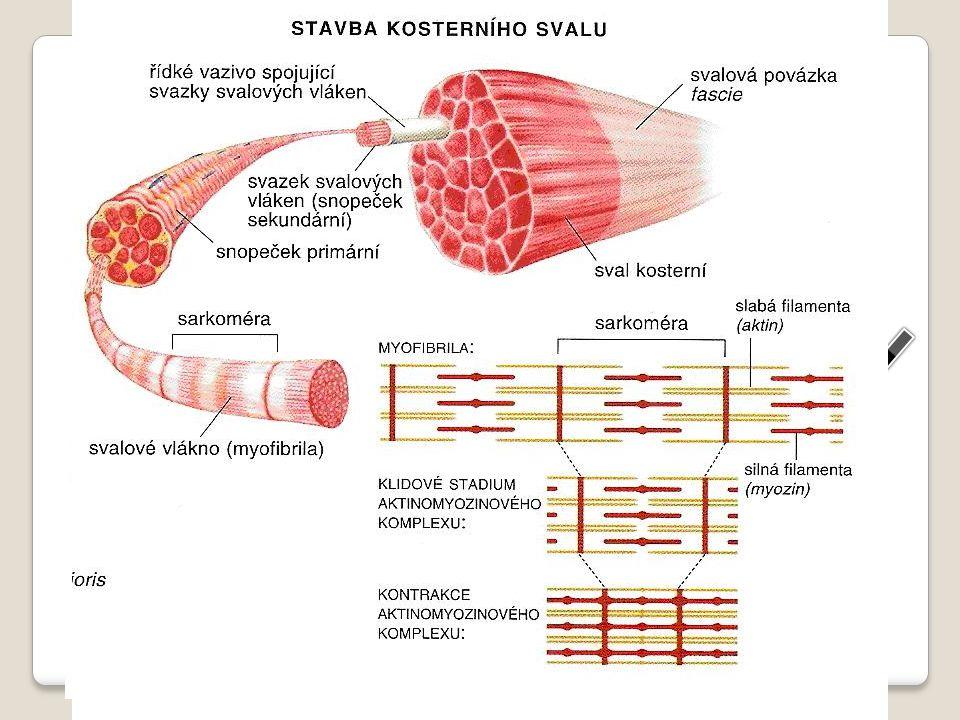 kosterní sval bílkovinná vlákenka