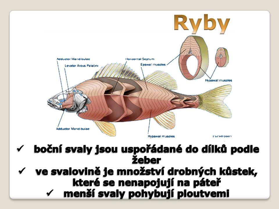 Ryby boční svaly jsou uspořádané do dílků podle žeber