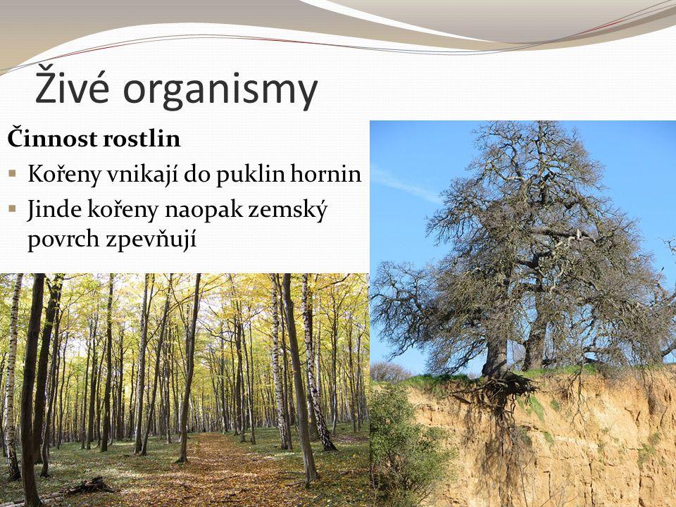 Živé organismy Činnost rostlin Kořeny vnikají do puklin hornin