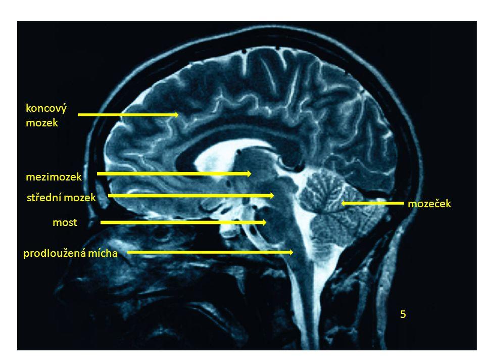 koncový mozek mezimozek střední mozek mozeček most prodloužená mícha 5