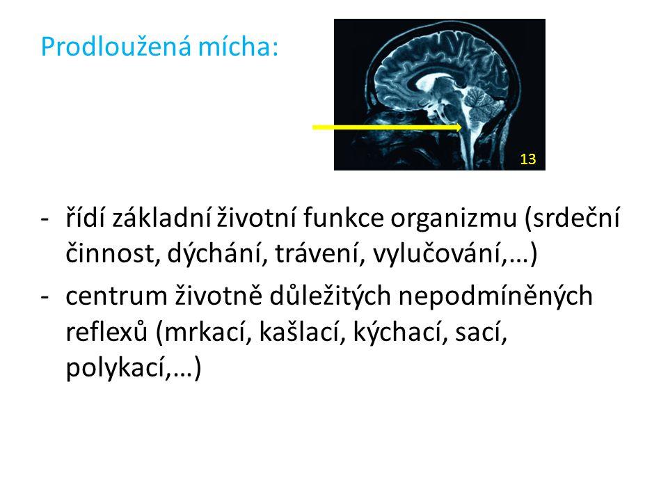 Prodloužená mícha: řídí základní životní funkce organizmu (srdeční činnost, dýchání, trávení, vylučování,…)
